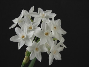 narcissus paperwhite flowers