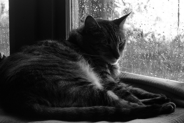 cat by rainy window Julie Raccuglia flickr:photos:jfolsom:6053180060