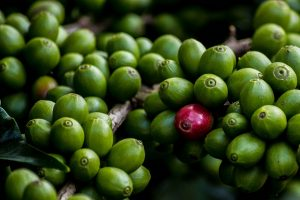 one red coffee berry in a pile of green ones by Thangaraj Kumaravel, used underCC BY-2.0 license